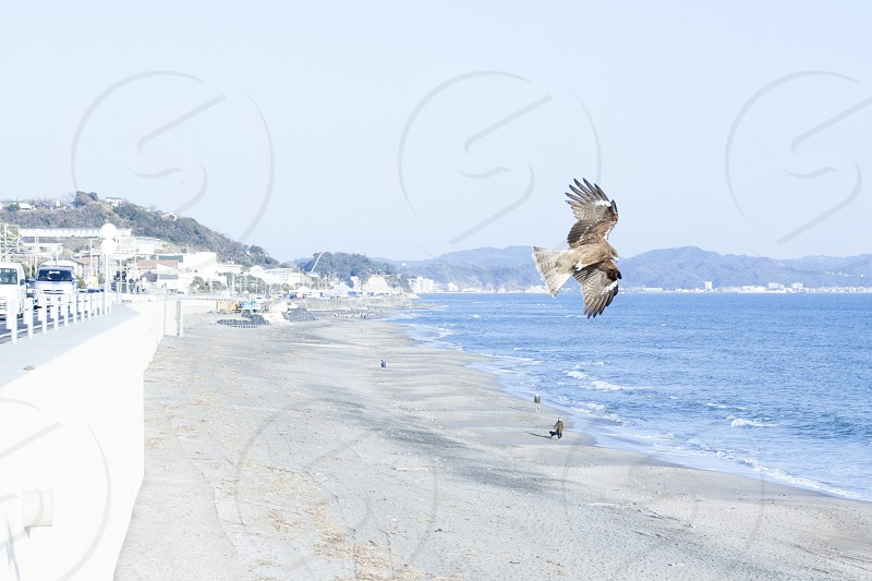 Black kites in Endoshima Japan photo