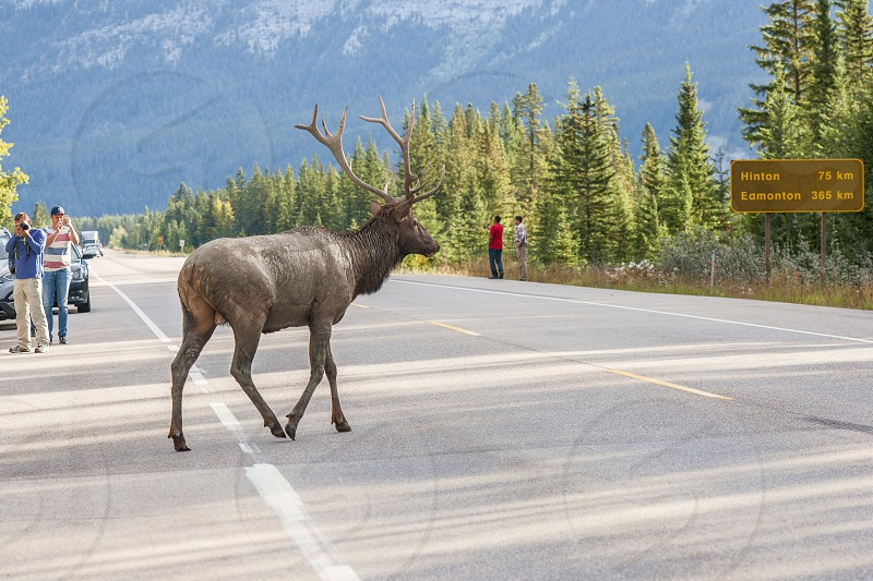 Dirty Male Elk (Cervus canadensis) is crossing the road in Jasper National Park. Alberta. Canada photo