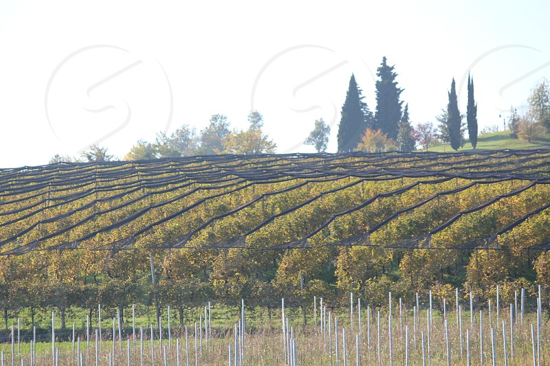 rows of grapevine in vineyards photo