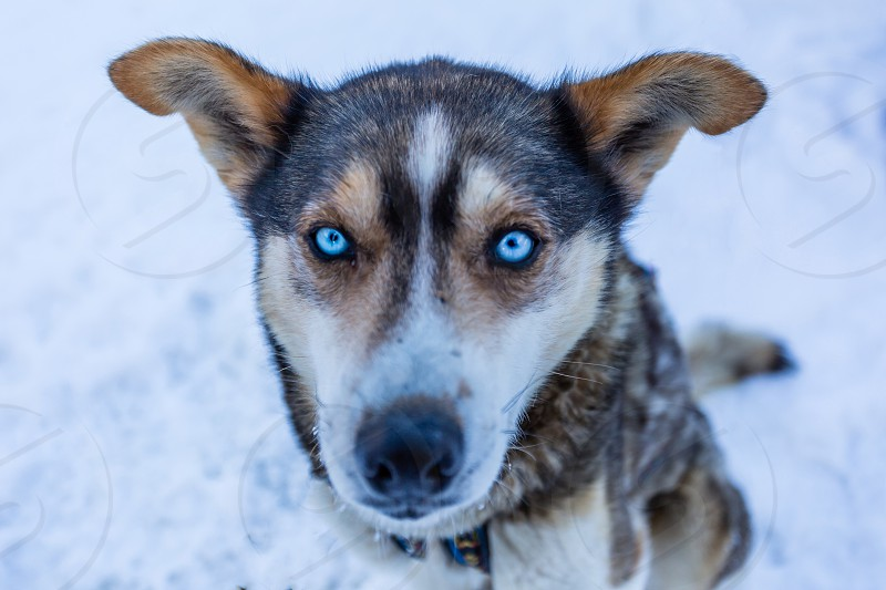 sit husky canada banff sled dog pet love blue eyes winter animal adventure portrait photo