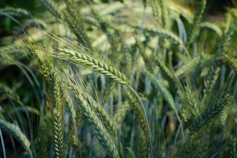 Tall Grass photo