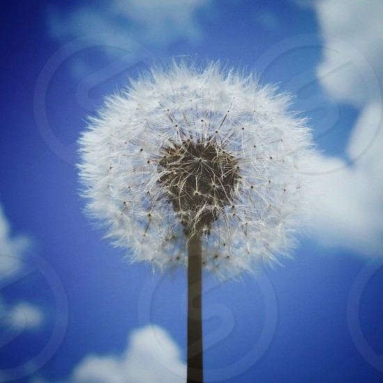 Elderly dandelion against a blue sky photo