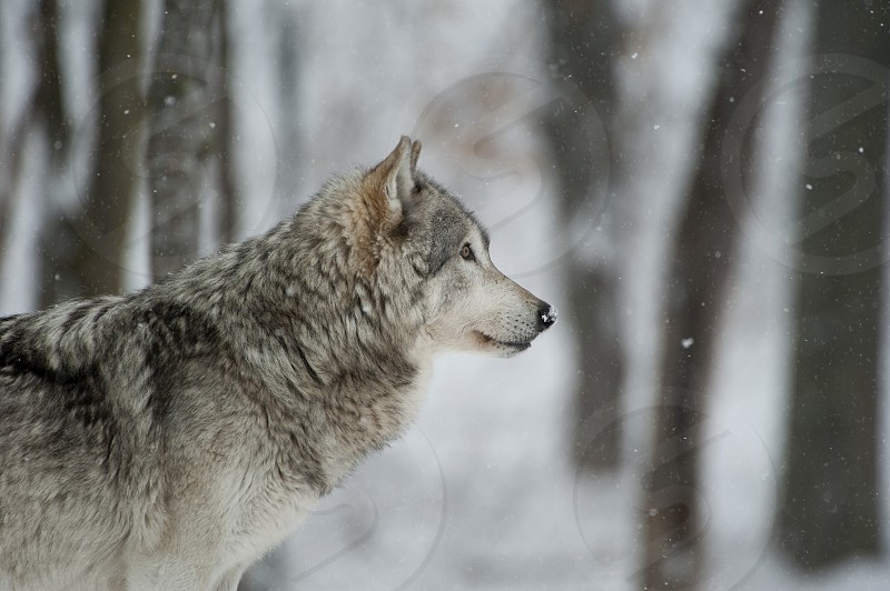 Timber wolf photography taken in Canada photo