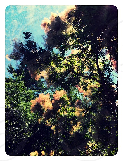 Smoke tree foliage summer pastel nature blue sky outdoors leaves branches  photo