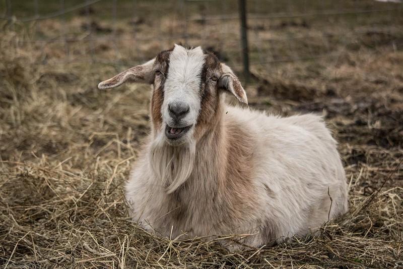 Farmbarn goat photo