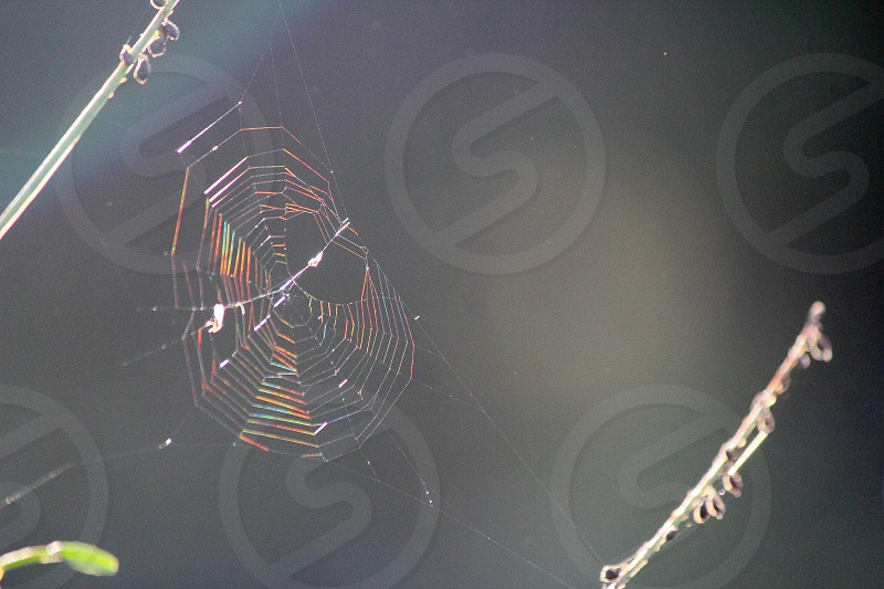 orb weaver spider web with rainbow color connected to green twigs photo