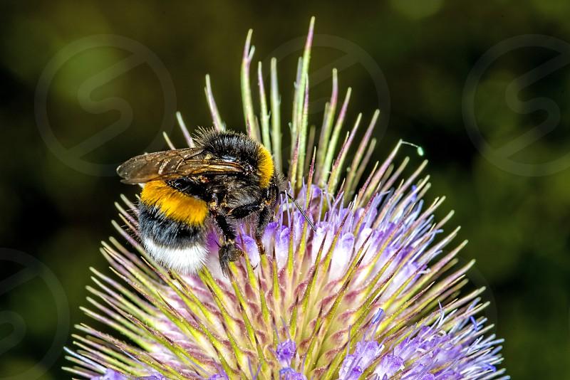 bumblebee on thistle photo