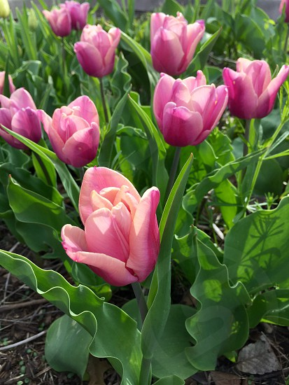 Flowers tulips pastels floral spring summer green lilac  photo