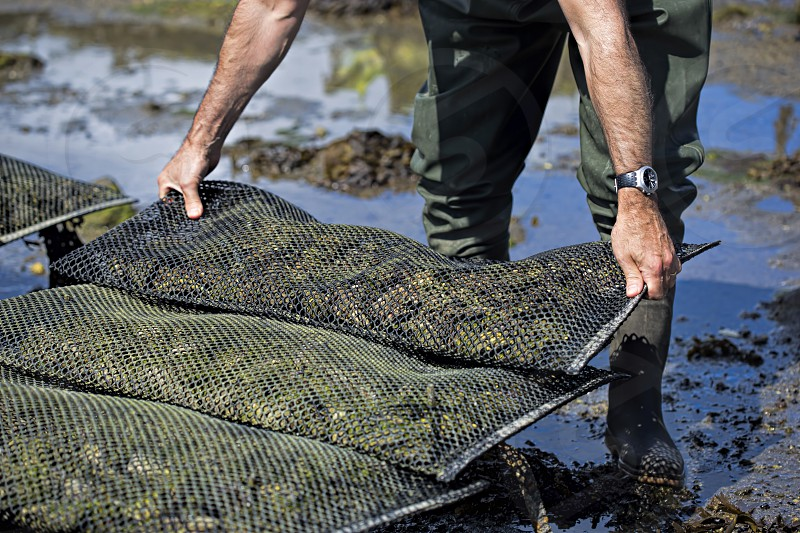 Oysters in metal bag on farm photo