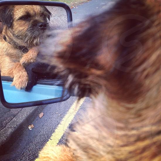 Border Terrier Dog Road trip photo