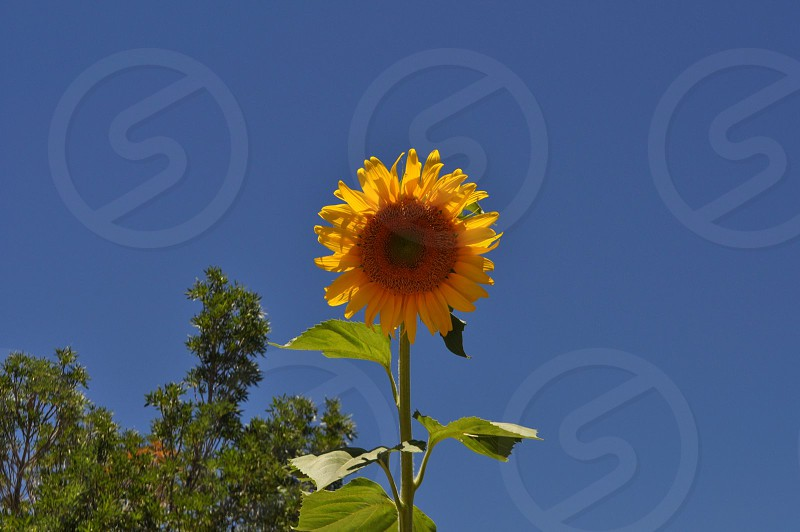 Beautiful still sunflower photo