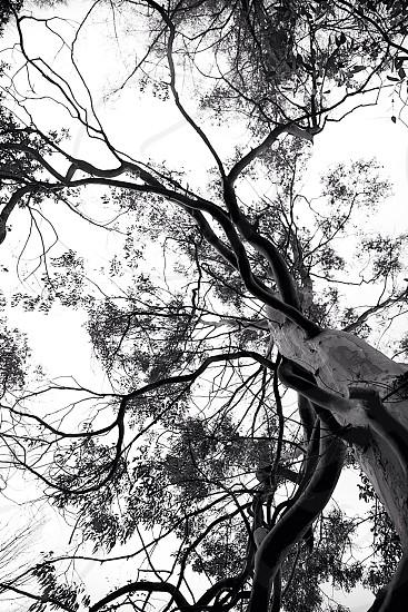 Eucalyptus tree - Kilmun Arboretum Scotland  photo