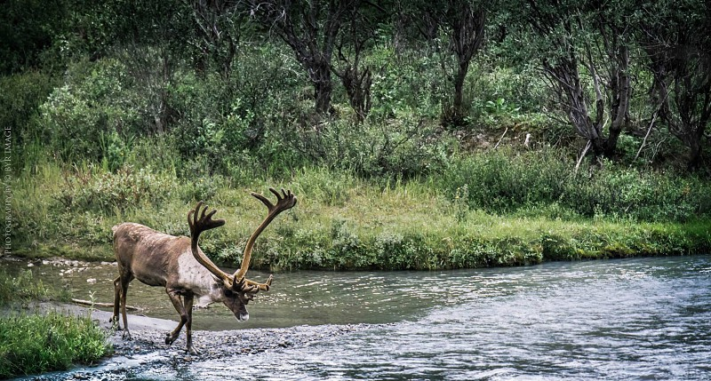 caribou stream Alaska photo