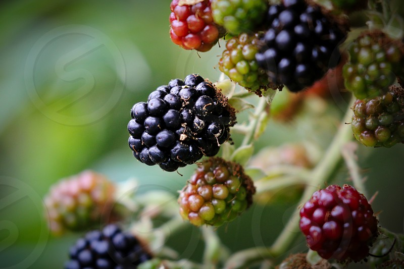 Blackberries growing on a plant photo