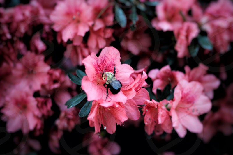 bee perched on pink petaled flower photo
