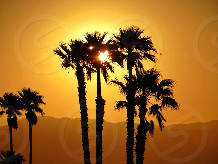 sunset view over fan palm trees photo