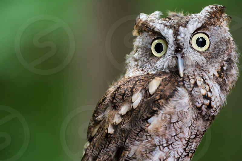 An inquisitive look from a small screech owl. photo