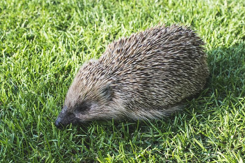 Hedgehog on a mountain meadow.  photo