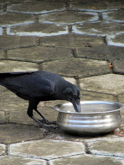 Crow eating rice from a bowl. photo