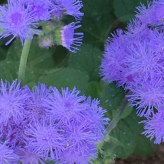 Add keywords separated by comma or semi-colonels ultraviolet flowers fuzzy texture natural photo