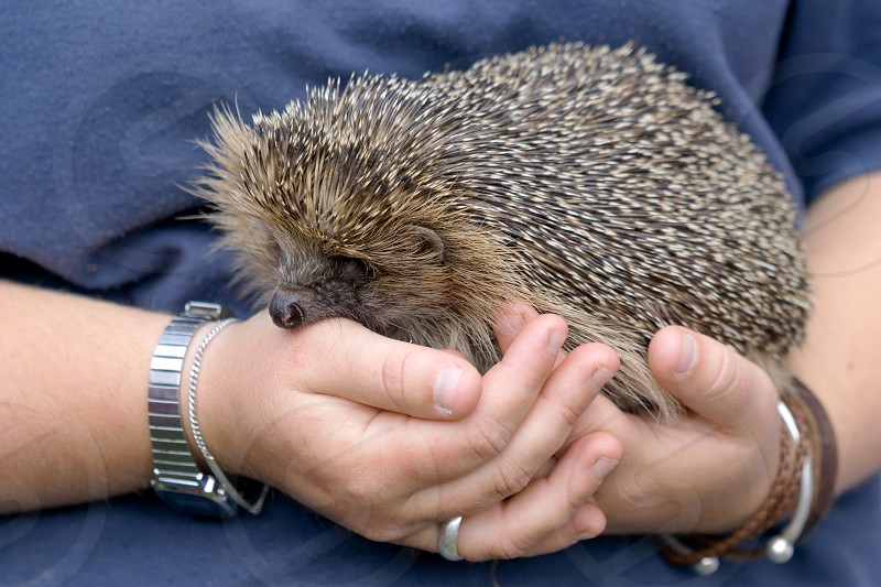 European Hedgehog (Erinaceus europaeus) photo