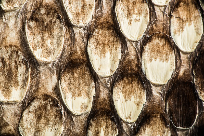 Texture of genuine snakeskin. Close up real leather texture photo