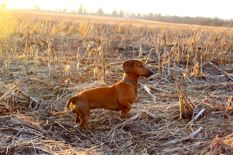 dachshund stand on field at sunrise photo