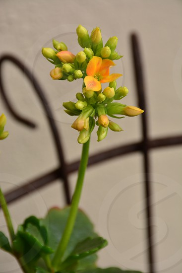 gold white flowers flower buds plants foliage garden gardening yard close-up succulent nature photo