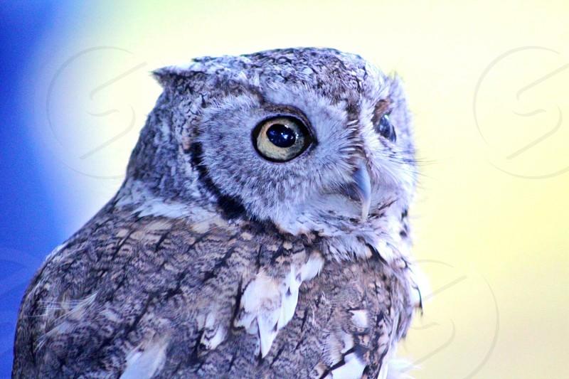 gray and white owl on white background photo