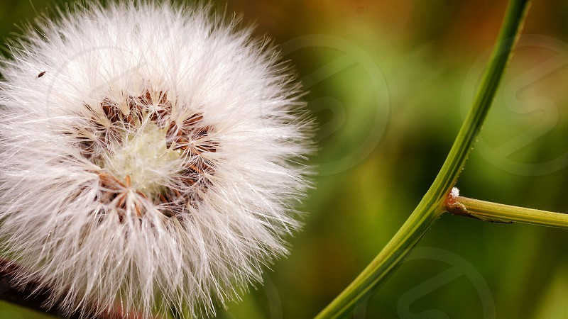 Dandelion flower forest green photo