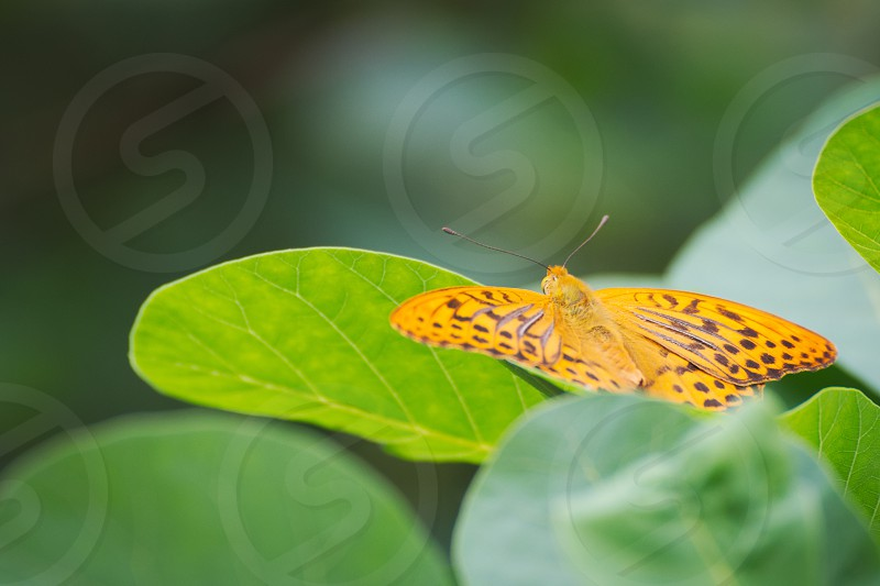Silver-washed Fritillary Butterfly Resting on Green Leaves photo