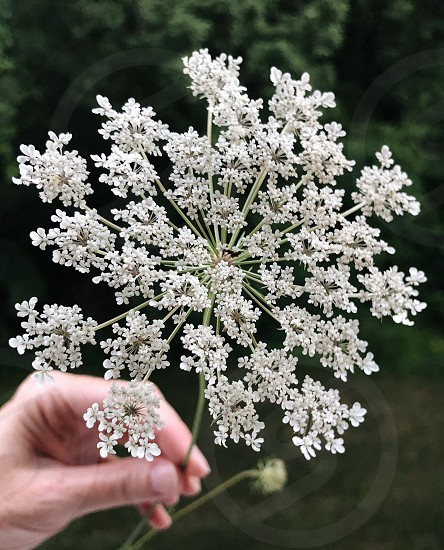 Queen Anne's lace wild flowers flowers hand hands bees migration butterflies  photo