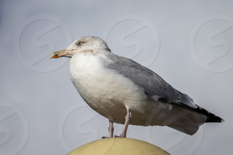 Common Gull (Larus canus) resting on a lamp at Worthing photo