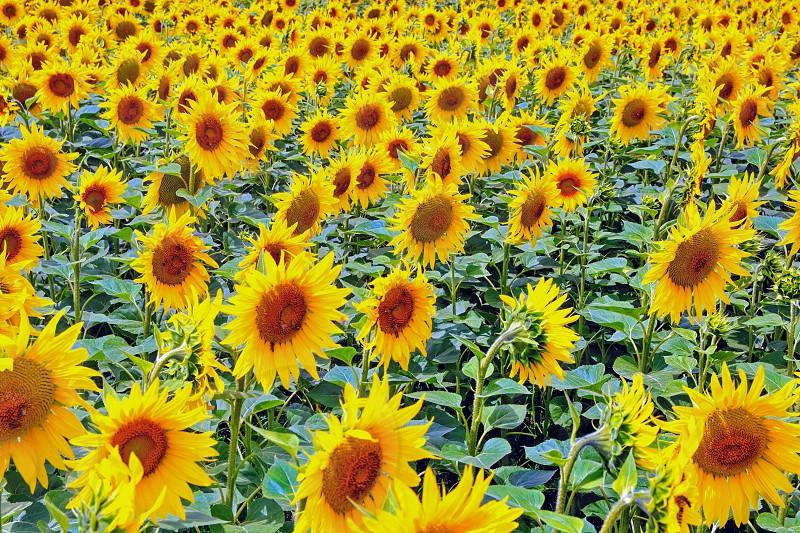 Vibrantsunflowers photo