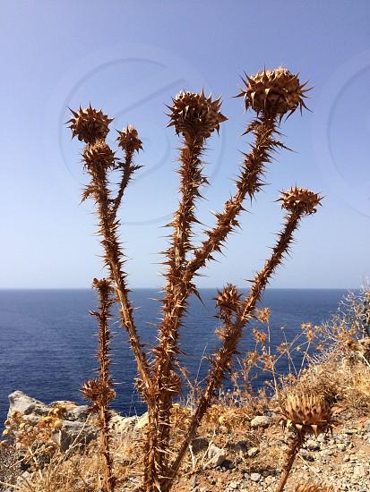 Cretan thistles photo