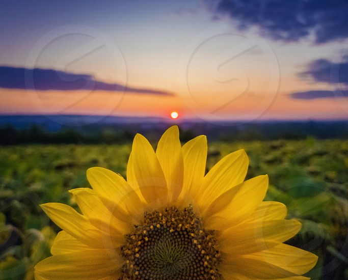 Vibrant autumn sunset as sun circle touching a rich sunflower petals crown. Beautiful fall scene crop and harvest concept. Farm field idyllic view. photo