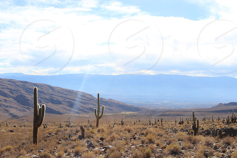 giant saguaro in the Cordillera of the Andes Argentina photo