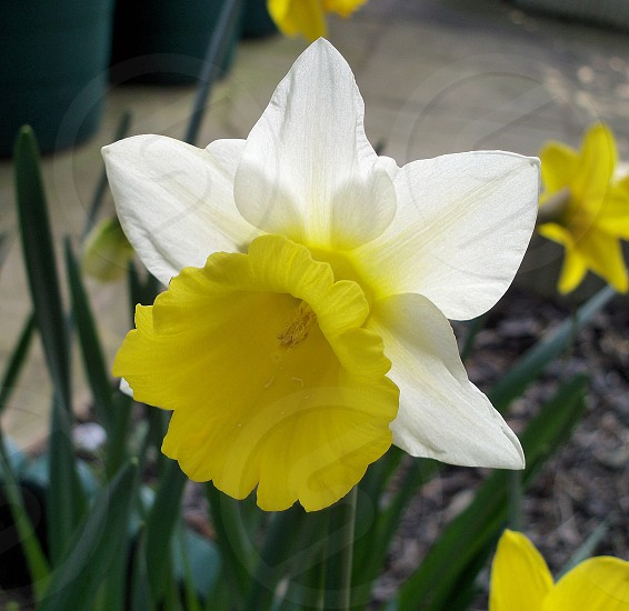 Spring daffodil. photo