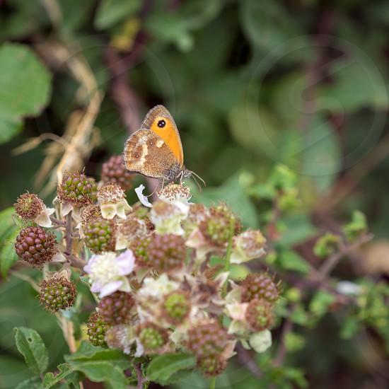 Small Heath Butterfly (Coenonympha pamphilus) resting on a Blackberry bush photo