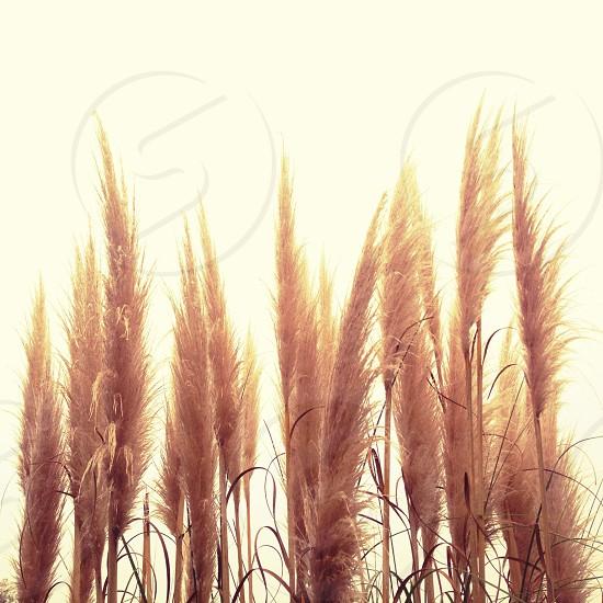 brown rice plant photo
