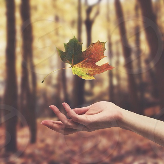 green and orange maple leaf falling into a persons hand with trees in the distance photo