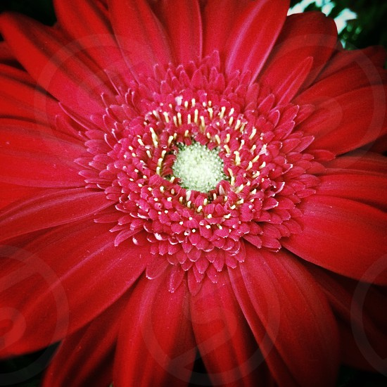 Close up of red gerbera flower: aster daisy flowers photo