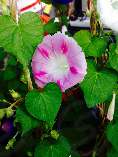 Oh Morning Glories  photo