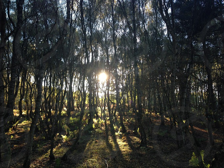 Sun through trees in Sherwood Forest  photo