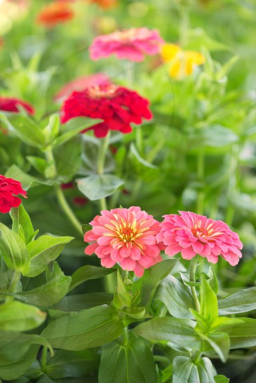Zinnias blooming in a local garden photo