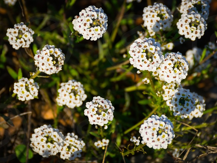 """White Flowers.  These flowers are typical of the Sicilian hinterland and bloom in the period before Christmas. The photo was taken at the """"Vassallaggi"""" archaeological park near San Cataldo Sicily. photo"""