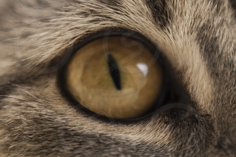 Billie the cat pets breeds eye looking at you macro photo