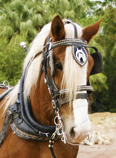 Horse Draft Belgian Driving Harness Workhorse Work Carriage Wagon Draft Horse Farm Ranch photo