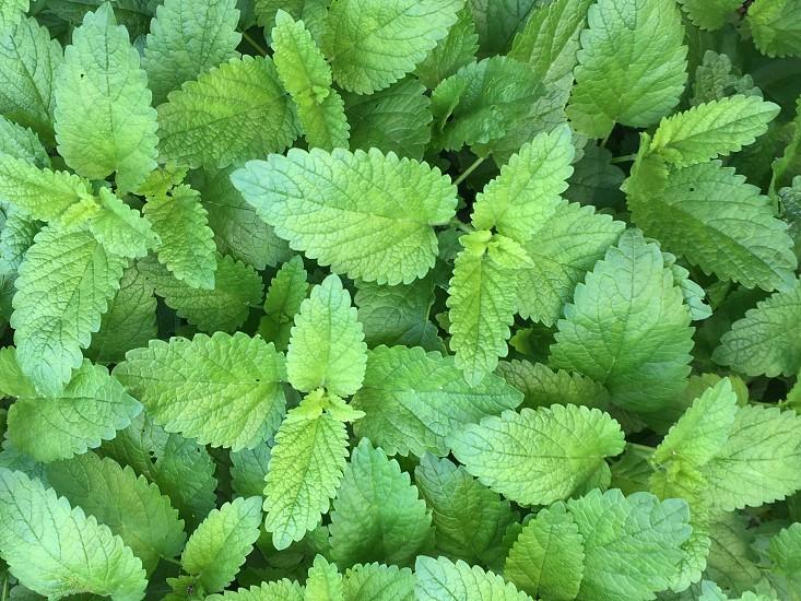Plantbushlemon balmbalmflowersummerspringlandscapesgardeninggardenoutdoorsgreenerygreen photo