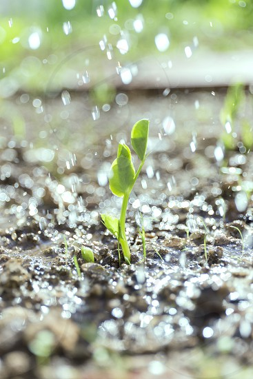 fresh pea plant emerging from the ground in an organic garden photo